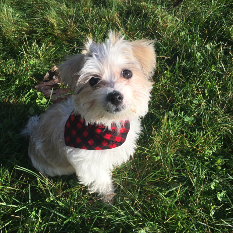 A fluffy white and brown puppy is sitting on grass. The puppy is looking into the camera and wearing a red and black plaid bandana.